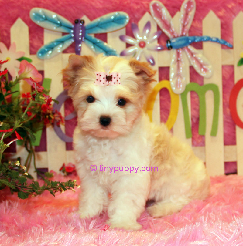 white yorkie, gold dust yorkie, gold yorkie,