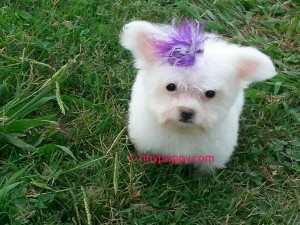 Micro Maltese Mia. Very tiny!
