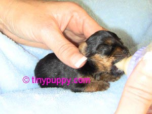 Teacup yorkshire terrier pictures