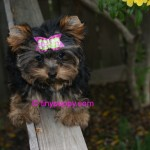 teacup yorkie, yorkie for sale, Yorkie Haircuts, yorkshire terrier