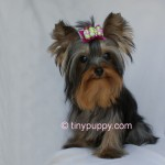 Yorkie Haircut, Full grown Teacup Yorkie