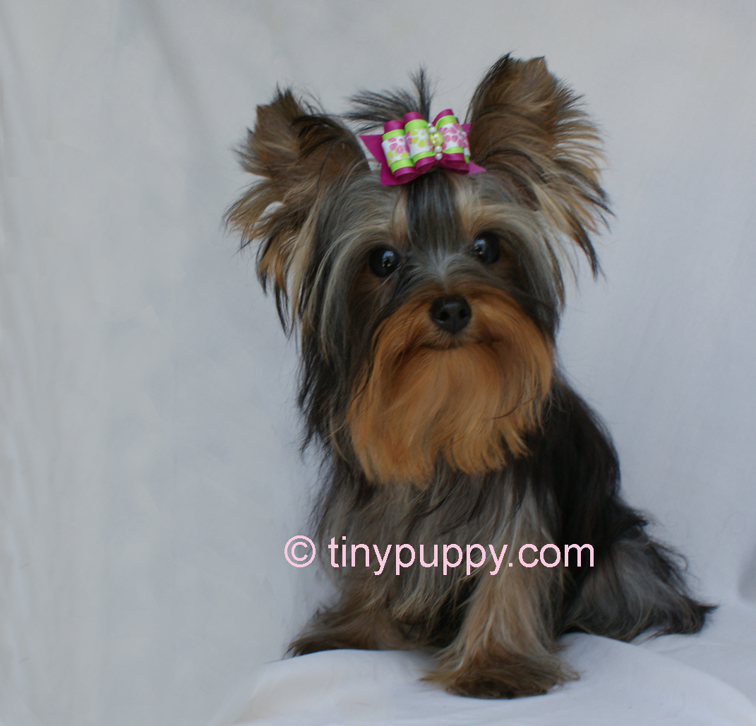 Original Yorkie Terrier Hairstyles For Pinterest
