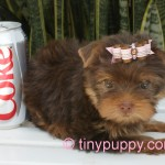 tiny chocolate yorkie for sale