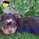 tiny teacup chocolate yorkie