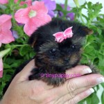 micro Yorkshire Terrier puppy for sale