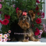 Full grown Teacup Yorkie
