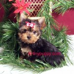 tiny yorkie puppies for sale