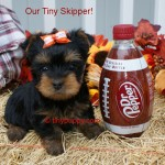 teacup yorkies, teacup yorkshire terriers