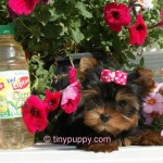 tiny puppy, tiny teacup yorkie