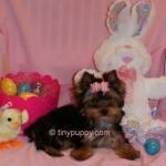 tiny puppy, tiny Yorkie puppy