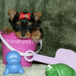 teacup yorkie puppy for sale, yorkie, yorkshire terrier