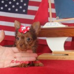 red yorkie, Chocolate yorkie, teacup chocolate yorkie