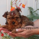 Golden Sable Yorkshire Terrier, teacup yorkie sable
