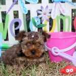Sable Teacup Yorkie, Goldne Sable Teacup Yorkshire Terrier