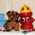 teacup sable yorkie, golden sable yorkie, sable yorkie