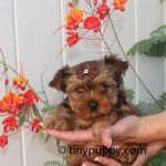Teacup Yorkie Golden Sable, Sable Yorkie