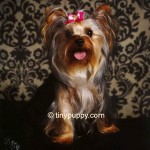 Golden Sable Yorkshire Terrier, Sable Teacup Yorkie