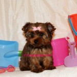 sable-yorkie-tillie