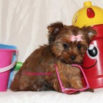 teacup-sable-yorkie-puppy