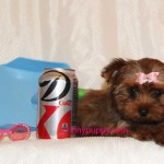 teacup-sable-yorkie-tillie