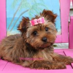 golden sable yorkie, teacup yorkie