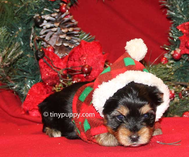Christmas puppy, teacup yorkie