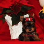 teacup yorkie, tiny yorkie puppies, adopt a yorkie, tinypuppy