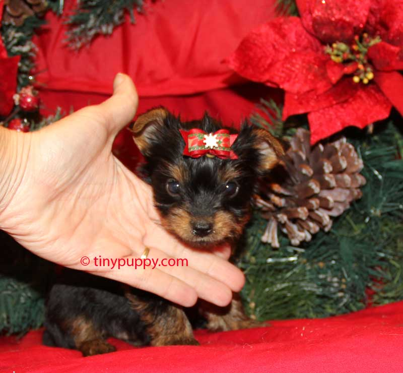 teacup yorkie, teacup yorkie for sale, teacup Yorkie Puppy, teacup yorkies for sale, tinypuppy