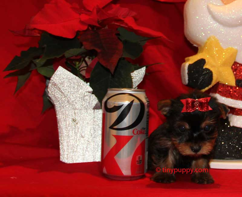 teacup yorkie, tiny yorkie, teacup yorkie for sale, tinypuppy