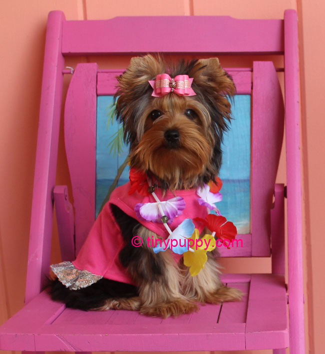 Simple So Do Not Choose A Groomer Lightheartedly  Your Dog Will Need Grooming Its Entire Life Teacup Yorkies Look Just Like Regular Yorkies But Smaller However I Would Caution That The Yorkshire Terrier Club Of America States &quotAll Breeders