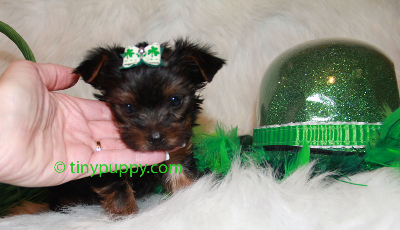 Tiny Boy Yorkie, Tiny Yorkshire Terrier, teacup yorkie