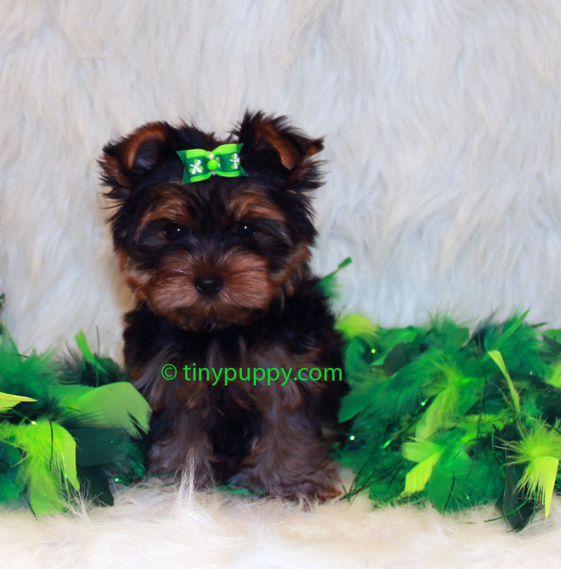 Simple Teacup Yorkie Haircuts Related Keywords Amp Suggestions  Teacup Yorkie