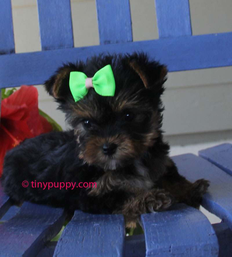 Yorkie puppy, teacup yorkie, teacup yorkshire Terrier, tinypuppy, tiny teacup yorkie