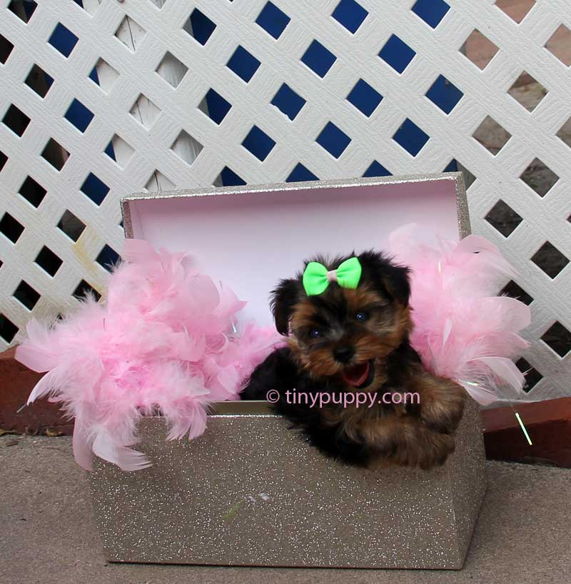 Teacup Yorkie, Yorkie, Yorkshire Terrier, Teacup Yorkshire Terrier, tinypuppy, tiny puppy