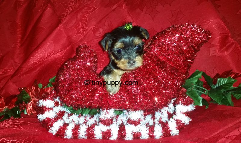 Christmas puppy, Teacup yorkie, tiny yorkie, tinypuppy