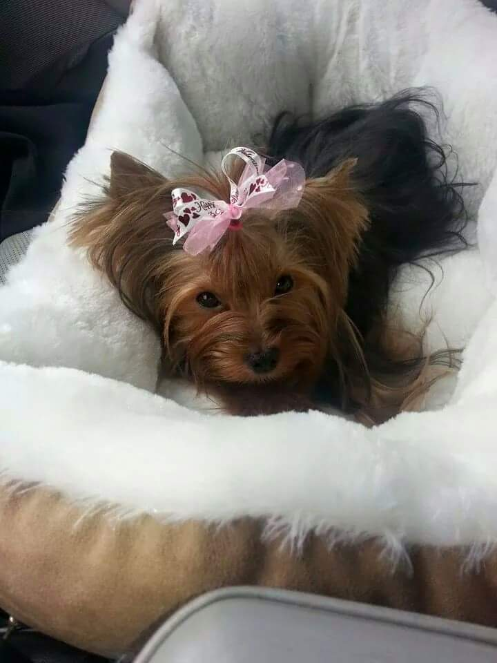 Oh Susie Q Tiny Teacup Yorkie Baby Tinypuppy Com