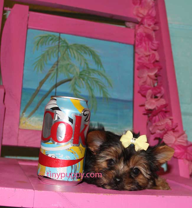 Yorkshire Terrier Hair styles, Grooming Yorkies, Puppy cut, Teddy Bear face yorkie, teacup yorkshire terrier, tinypuppy