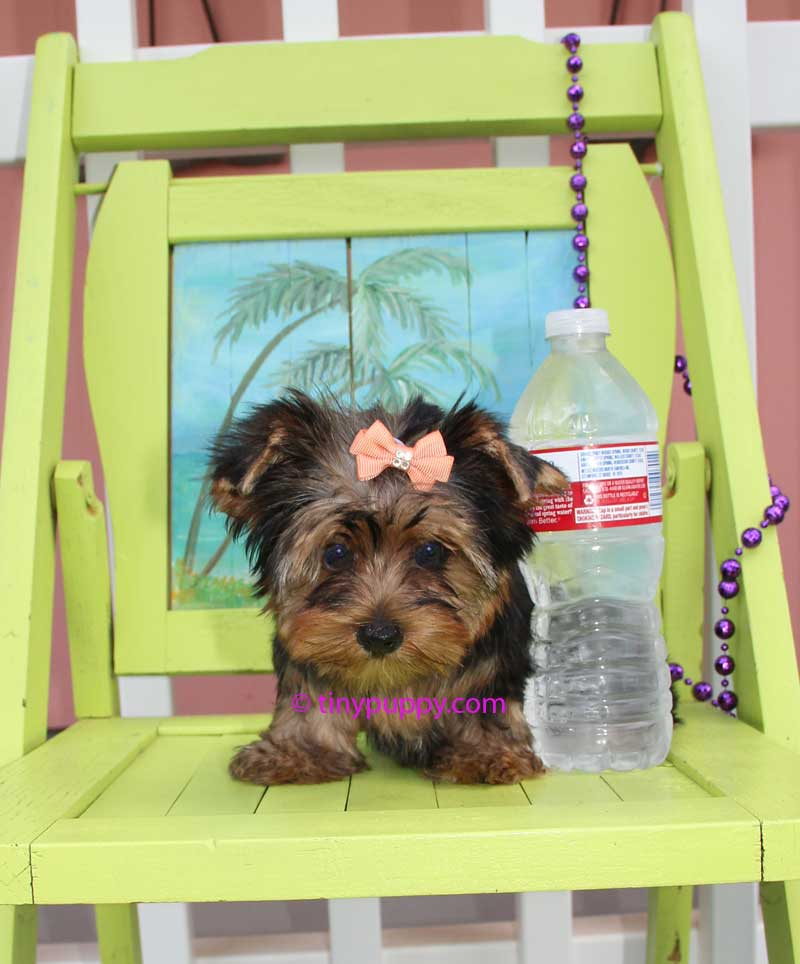 Black and Tan yorkshire terrier puppy, micro yorkie