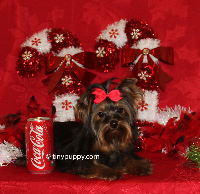 teacup yorkie, 3 lb yorkie, yorkshire terrier, tinypuppy