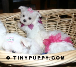 Maltese Puppies | Tinypuppy